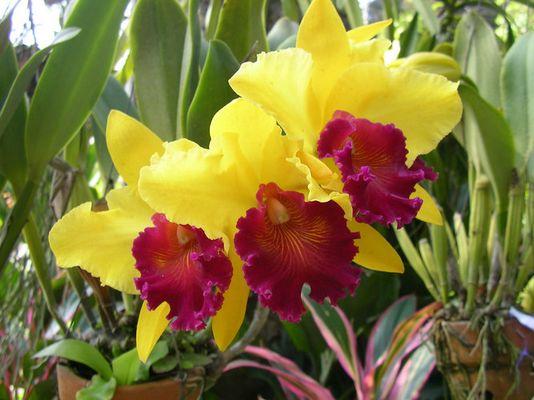 orchideen in Thailand