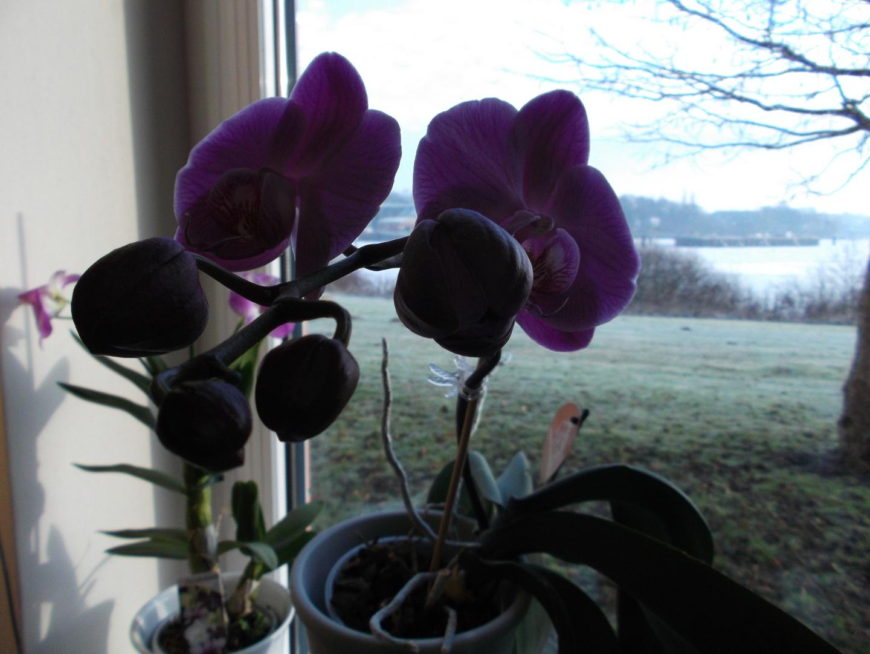 Orchideen in voller Blüte