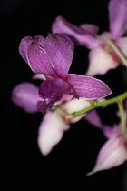 Orchideen-Makro
