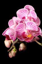 Orchideen Makro I (Phaleanopsis)