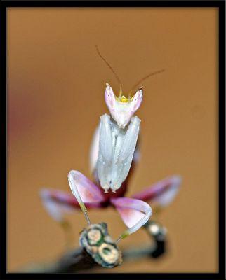 Orchideen-Mantis (Hymenopus coronatus) L2 groß