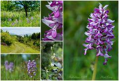 Orchideen meiner Heimat