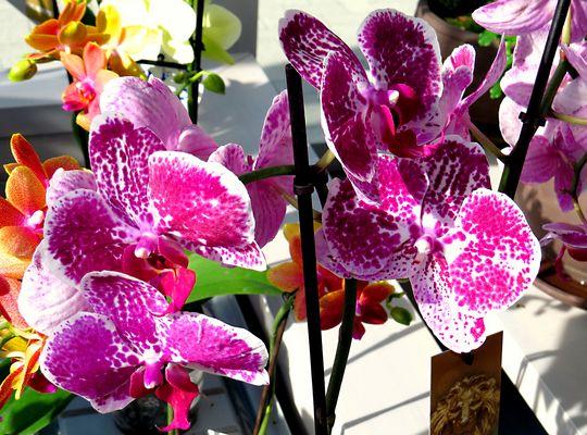 Orchideen-Parade
