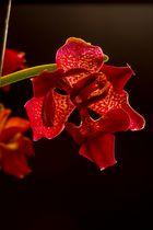 Orchideen (Phalaenopsis) die 2te