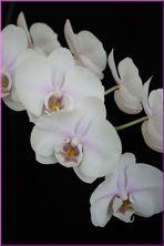 Orchideen-Rispe