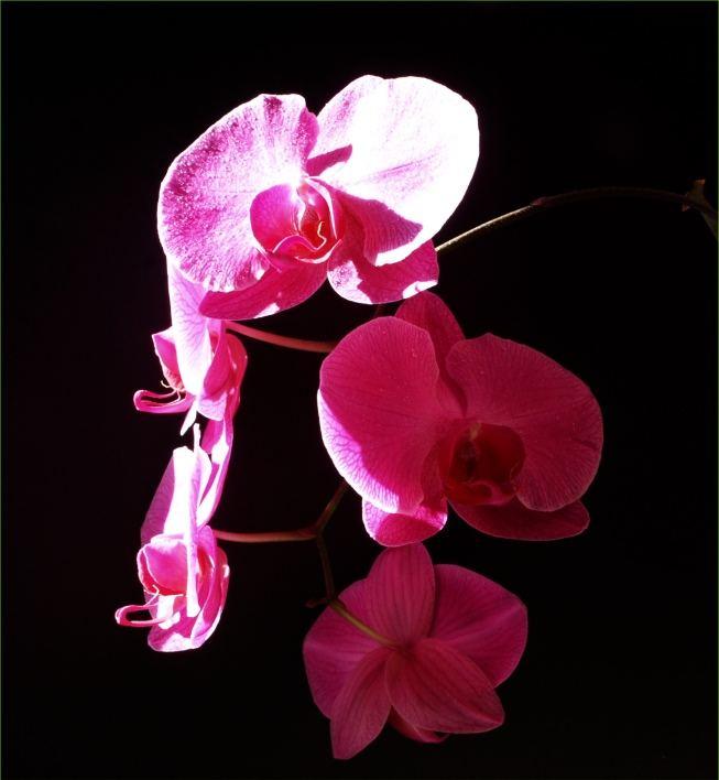 Orchideen satt