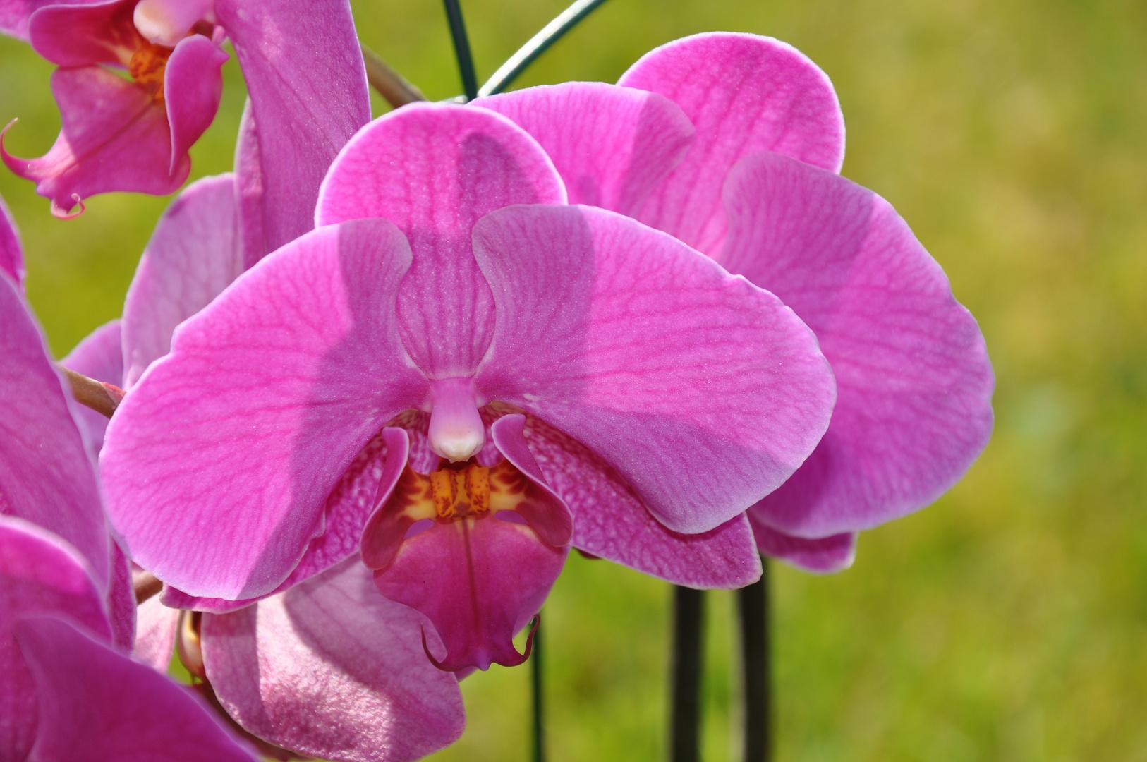 orchideen schmetterling foto bild pflanzen pilze. Black Bedroom Furniture Sets. Home Design Ideas