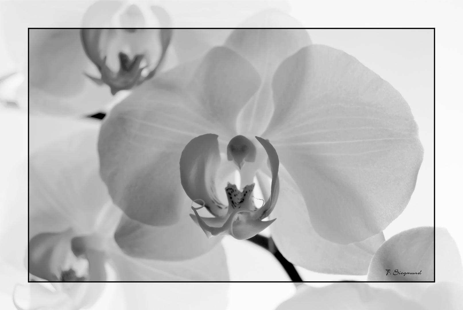Orchideen schwarz weiß
