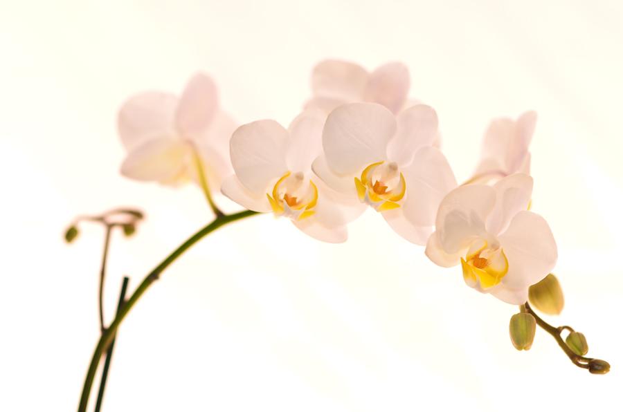 Wallpaper orchidee weiß  Wallpaper Orchidee Weiß   loopele.com
