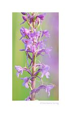 Orchideen-Streifen