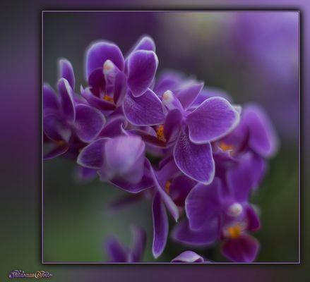 Orchideen Traum