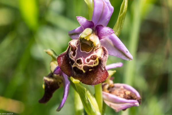 Orchideen-Wanderung I: Hummel-Ragwurz (Ophrys holoserica)