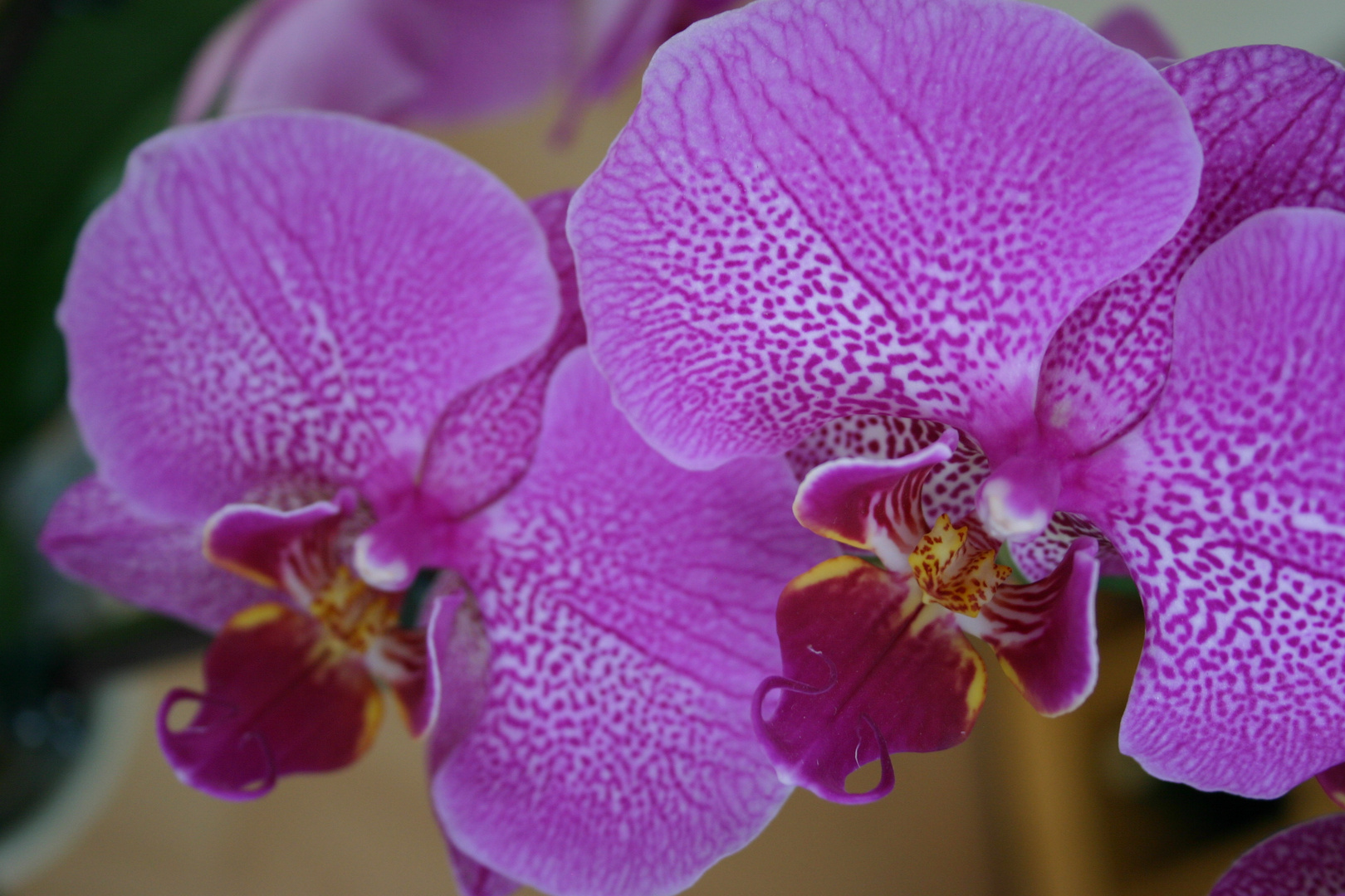 Orchideen-Zwilling