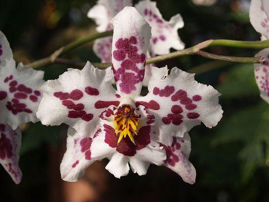 Orchideenaustellung 2006 Chemnitz V.