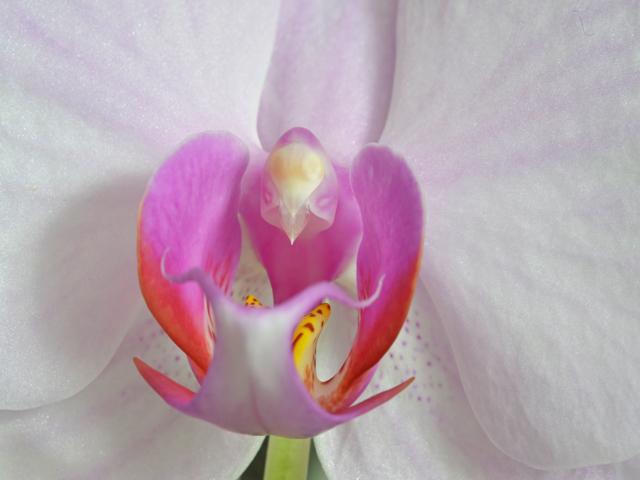 orchideenblüte 1