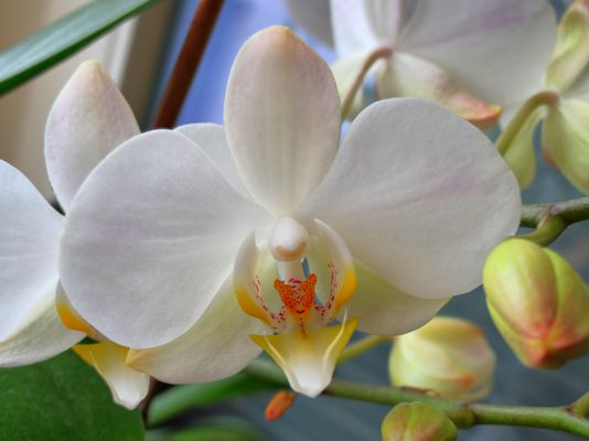 Orchideenblüte im Winter