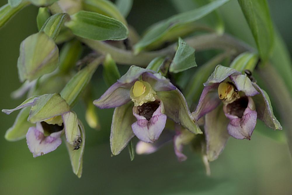Orchideengesicht