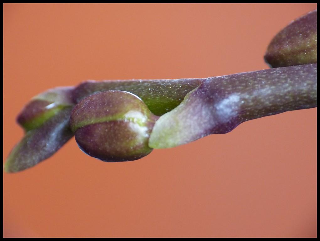 Orchideenknospe