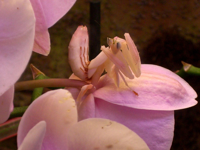 Orchideenkönigin