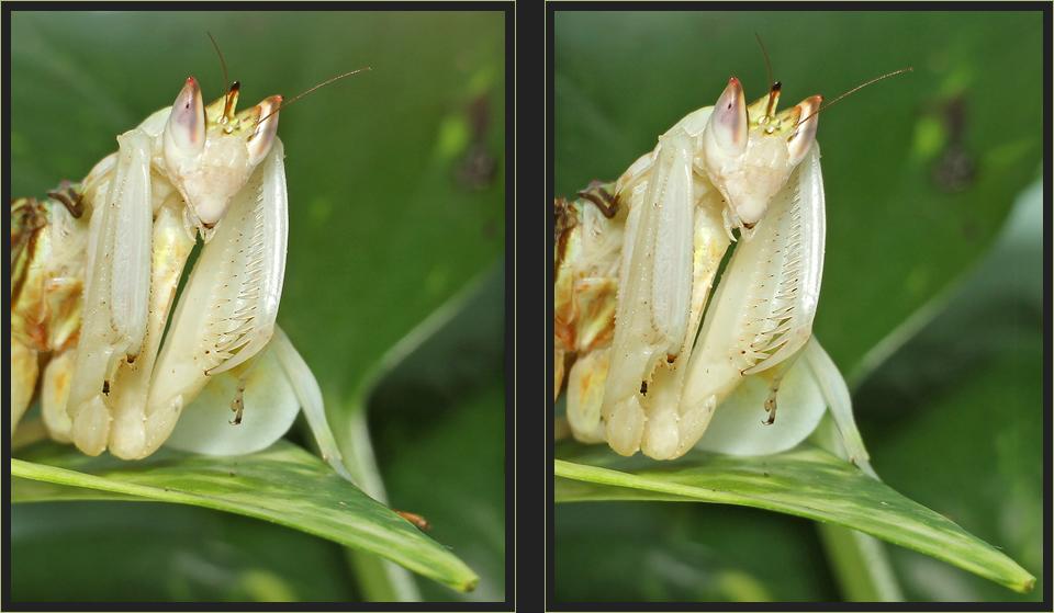 Orchideenmantis [3D]