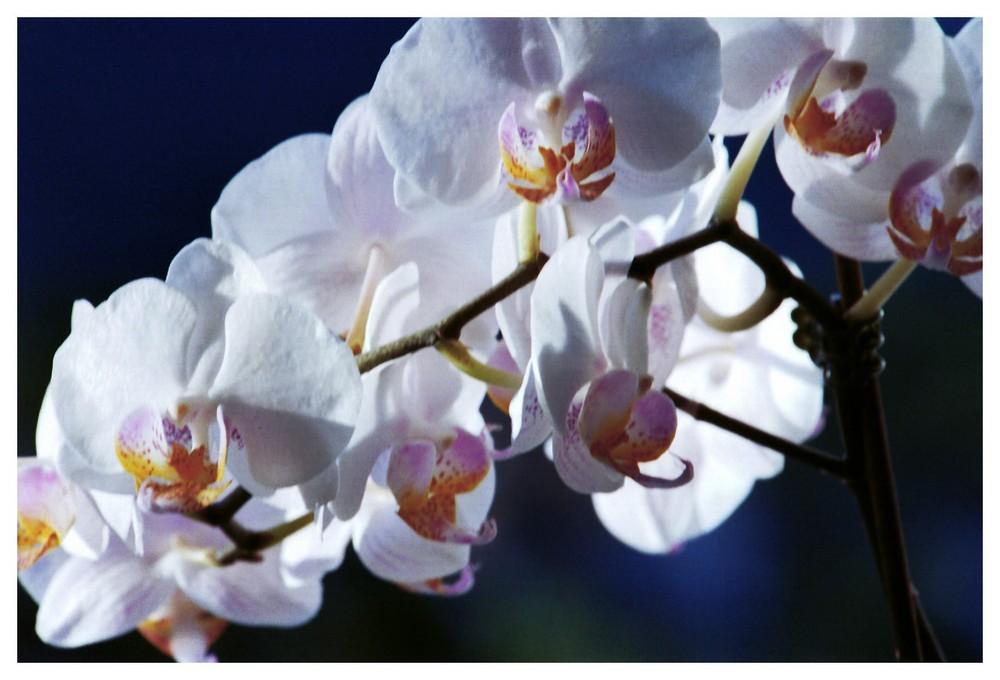 Orchideenpracht