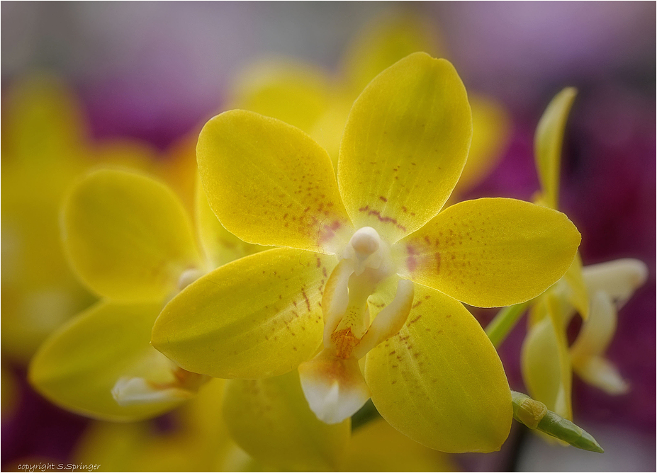 Orchideensonne