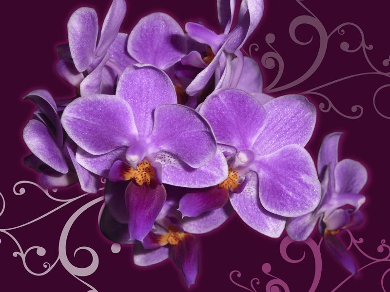 Orchidées mauves
