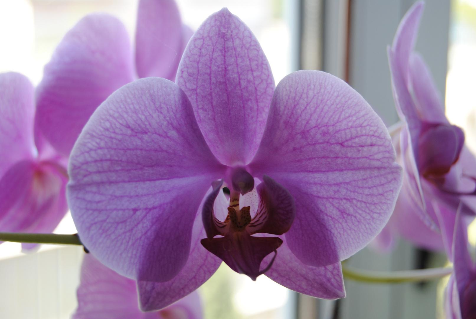 Orchidées phalenopsis