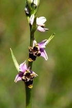 Orchidées sauvages... tout en finesse !!