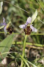 orchidées sauvages2
