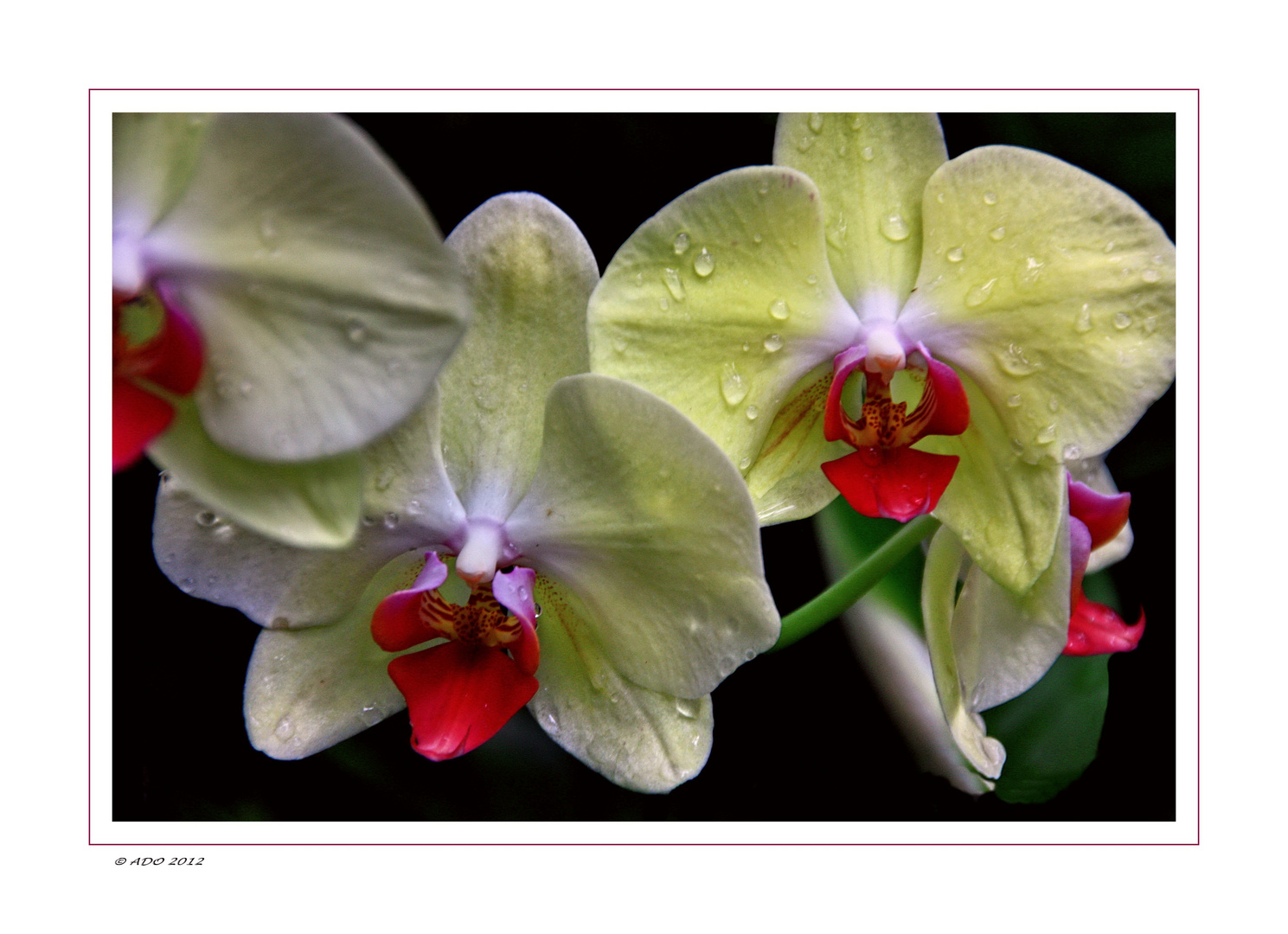 Orchids for Canan