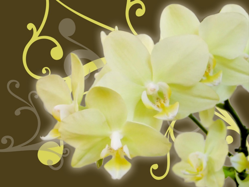 Orchids limelight