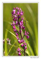 Orchis à fleurs lâches (1)