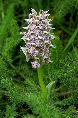Orchis lactea