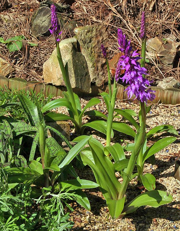 Orchis mascula - Männliche Orchis  im Alpinum