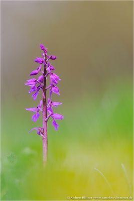 Orchis mascula / Stattliches Knabenkraut