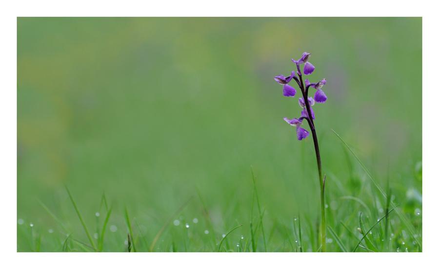Orchis morio, encore