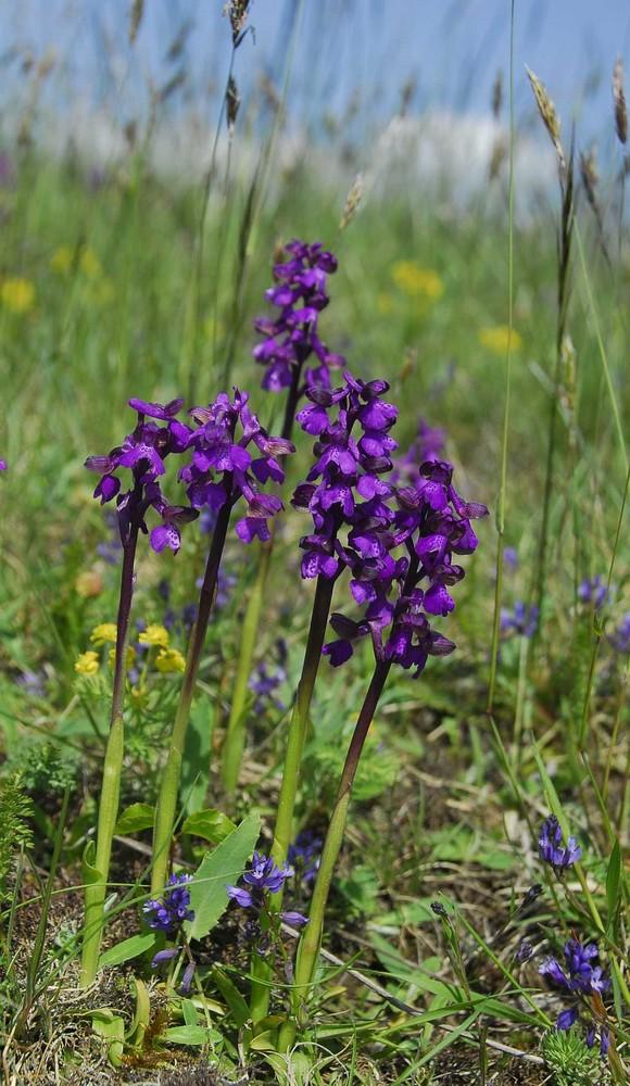 Orchis morio  Kleines Knabenkraut  Fünfergruppe