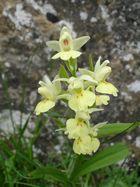 Orchis pâle