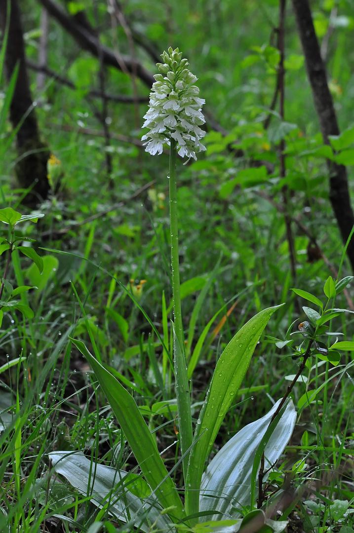Orchis purpurea Albino - Mackenzell - 18.6.13