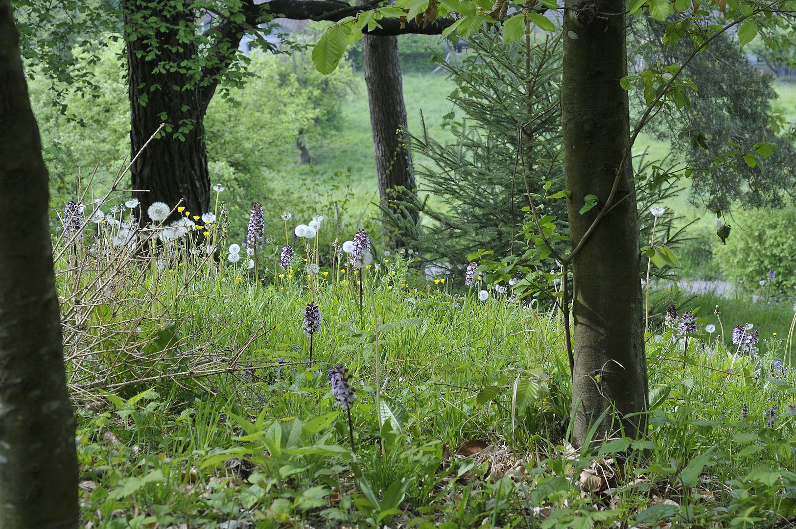 Orchis purpurea - Purpurorchis