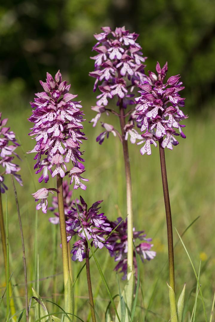 Orchis purpurea/millitaris Hybride - Karlstadt/Bayern - 4.5.14