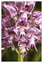 Orchis simia (Affenknabenkraut)