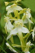 Orchis verdatre