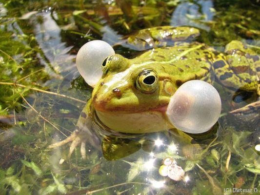 ordentlich aufgeblasen - Frosch im Teich