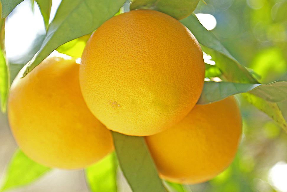 ordinäre Früchte
