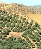 Ordnung im Olivenhain