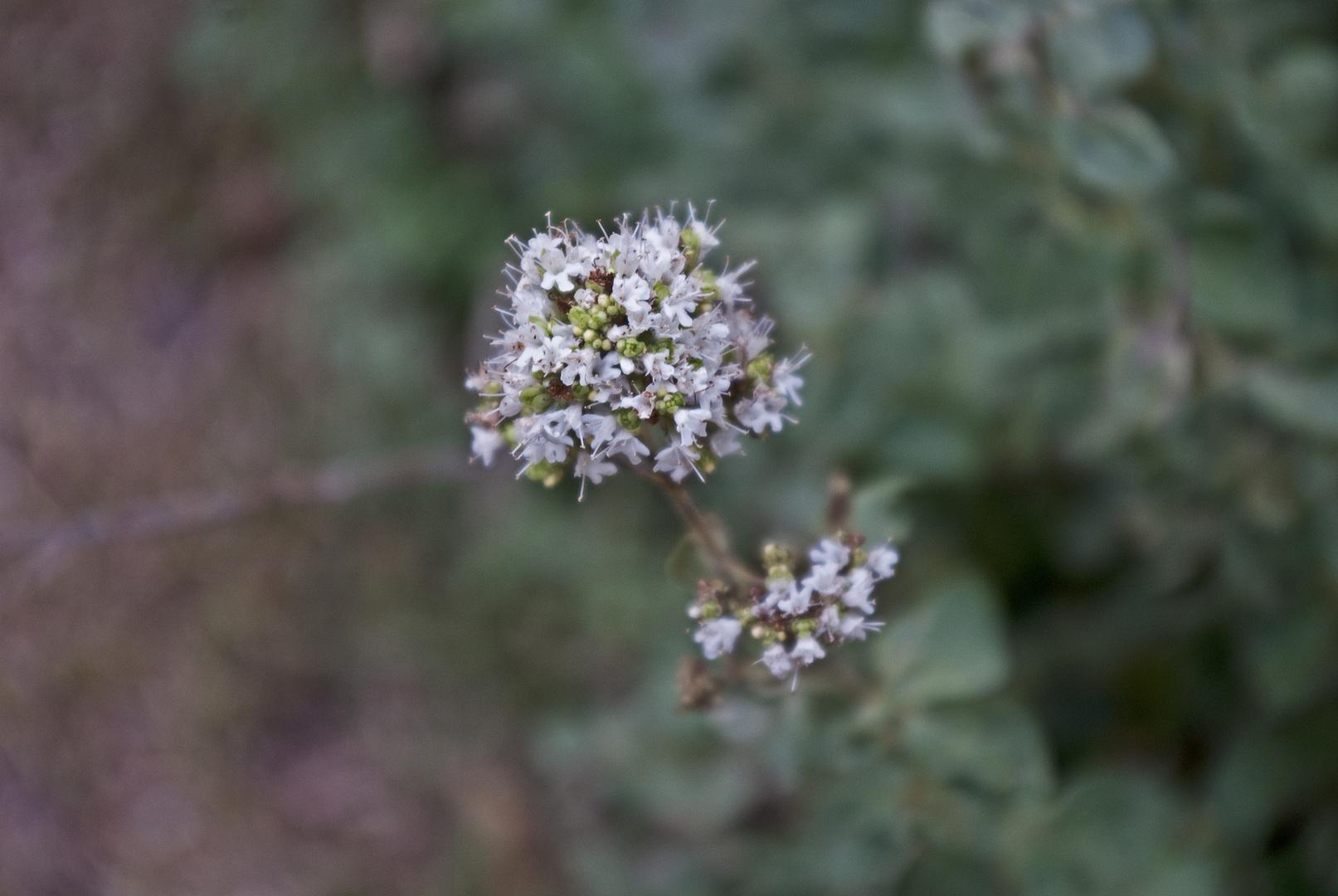 Orégano en flor