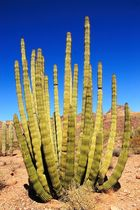 Organ Pipe Kaktus