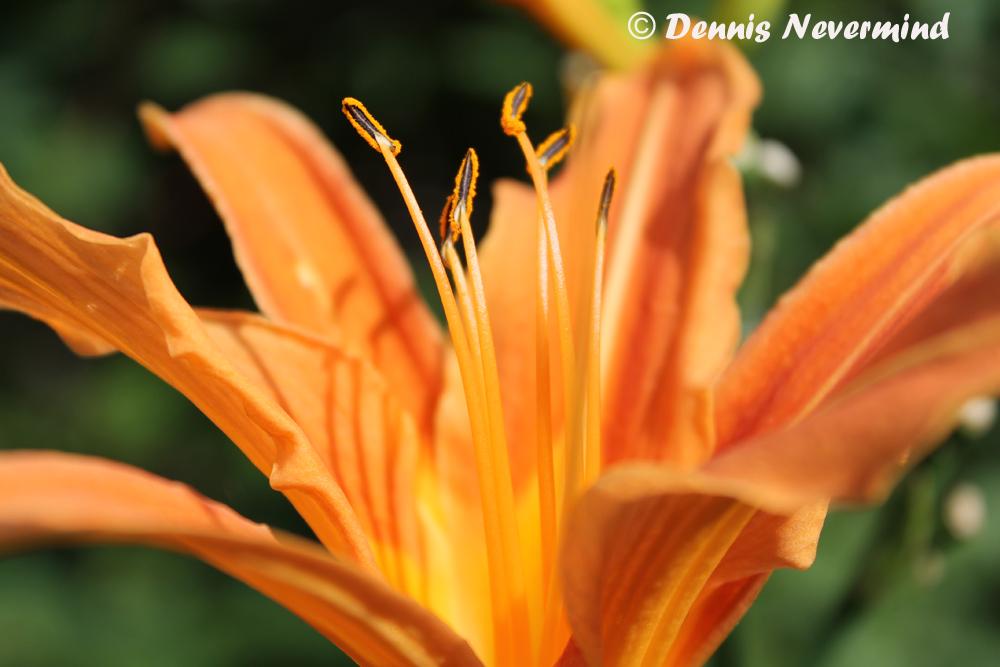 Organgene Blume